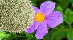 CISTUS crispus (Ciste crépu)